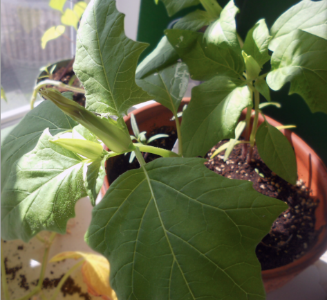 Datura's Beginning to Flower